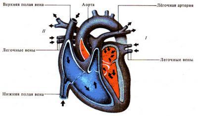 Ток крови через сердце - схема, таблица.